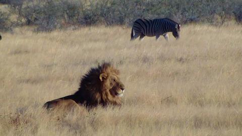 Male lion lick tongue zebras background Etosha Namiba Africa Footage