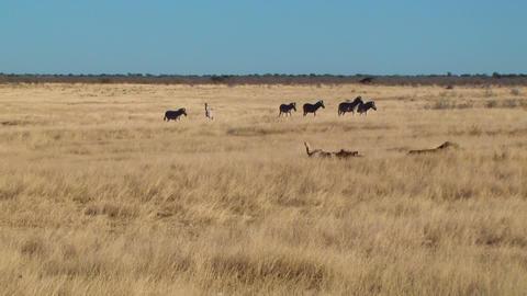Male lions zebras background Etosha Namiba Africa Footage