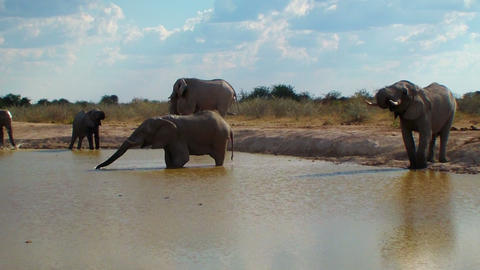 Elephant family entering pool and bathing Africa Footage