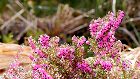 Pink heath with insects Footage