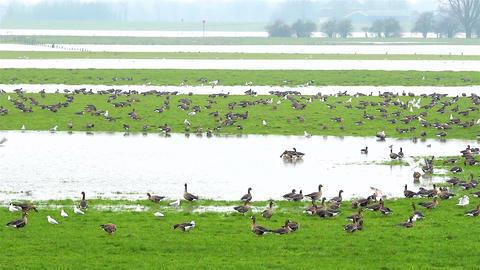 The dutch delta birds Footage