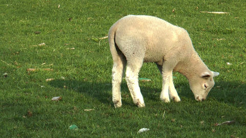lamb grazing on meadow Stock Video Footage