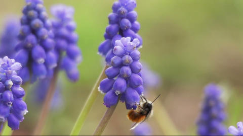 Bumblebee with the trunk into the flower Footage
