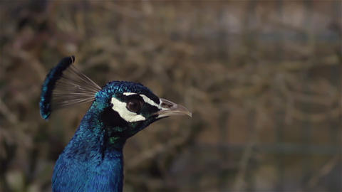Peacock walks slow and moves head back and forth in slow... Stock Video Footage