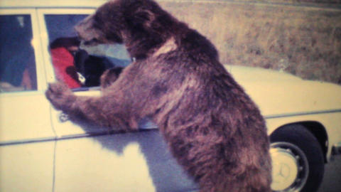 Brown Bear Cub Eating Out Of Car Window 1979 Vintage 8mm Film stock footage
