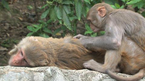 Monkeys fleeing on a wall Footage