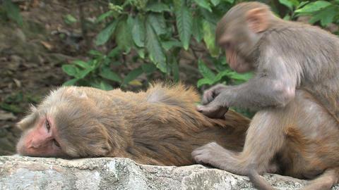 Monkeys fleeing on a wall Stock Video Footage