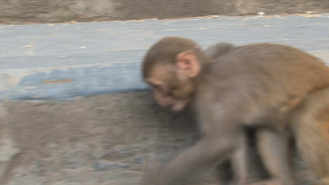 Little monkey grabbing little nuts Stock Video Footage