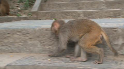 Little monkey grabbing little nuts Stock Video Footage