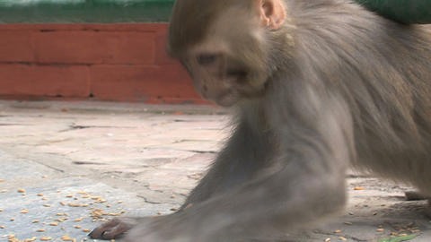 Monkey eating little nuts Stock Video Footage