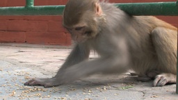 Monkey eating little nuts Footage