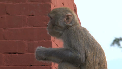 Monkey eating fruit Stock Video Footage