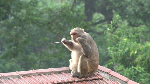 Monkey eating Footage