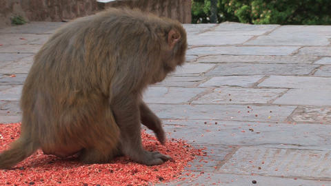 Monkey eating Stock Video Footage