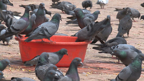 big group pigeons drinking water and eating food Stock Video Footage