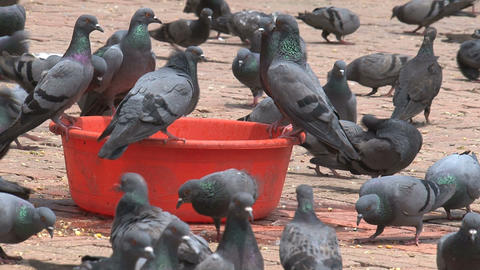 big group pigeons drinking water and eating food Footage