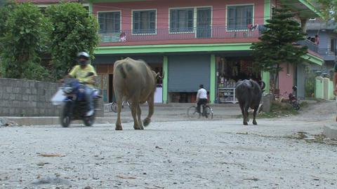 Buffalos walking in the street in Pokhara Stock Video Footage