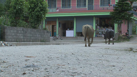 Buffalos walking in the street in Pokhara Footage