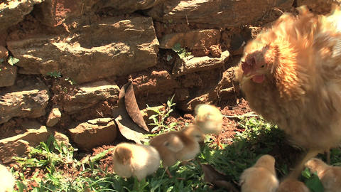 Close up from baby chicken walking around mother Stock Video Footage