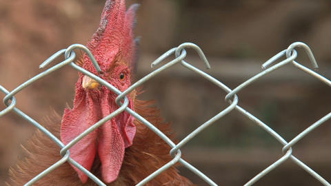 Close up rooster behind a fence Footage