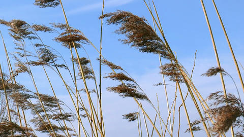 blades of grass waving in wind close up Live Action