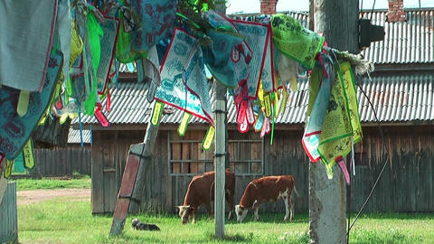 holy cows and prayer flags at ivolginsky datsan Stock Video Footage