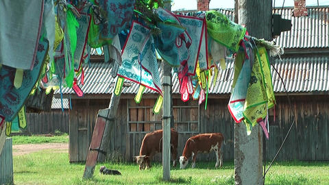 Holy Cows And Prayer Flags At Ivolginsky Datsan stock footage