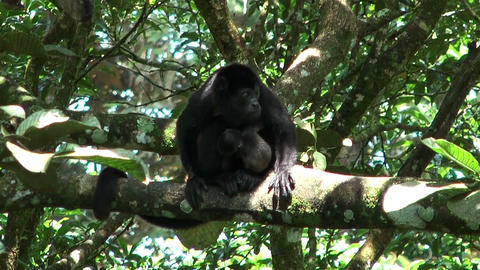 howler monkey with baby Stock Video Footage