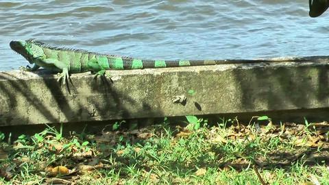 iguana creeping on a wall Stock Video Footage