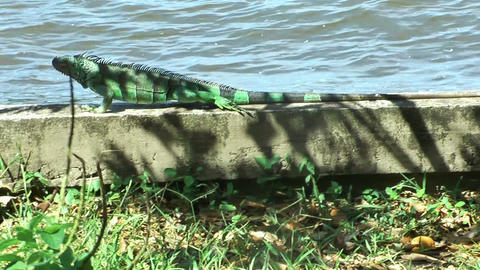 iguana creeping on a wall Footage