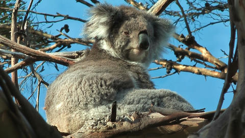 Koala releaxing Stock Video Footage