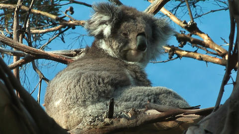 Koala releaxing Stock Video Footage