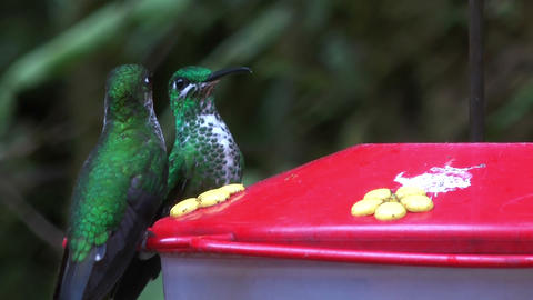 hummingbirds close up Footage