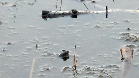 male moor frog Stock Video Footage