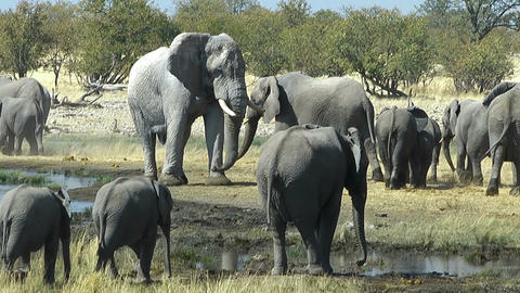 elephant bull watching his herd Stock Video Footage