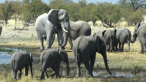 elephant bull watching his herd Footage