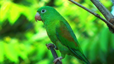 costa rica parrot close up sitting on a branch Stock Video Footage