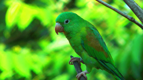 costa rica parrot close up sitting on a branch Footage