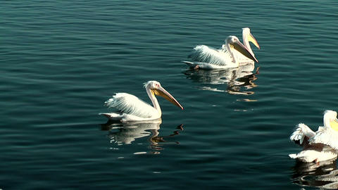 Group of Pelicans swimming in blue water Footage