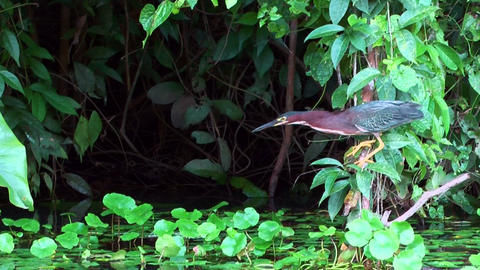 Mangrove Heron catching fish Stock Video Footage