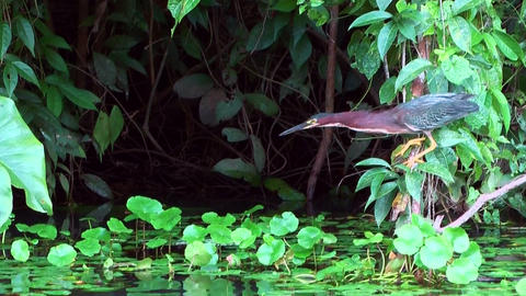 Mangrove Heron catching fish Footage