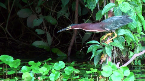 Mangrove Heron catching fish Stock Video Footage
