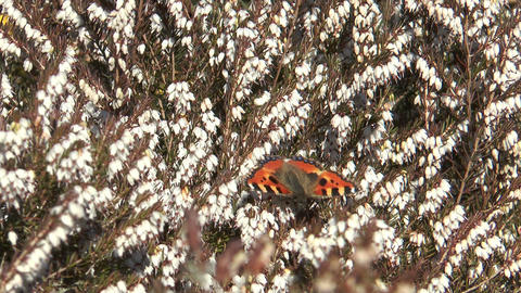 Small Tortoiseshell Butterfly stock footage