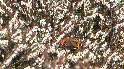 small tortoiseshell butterfly Stock Video Footage