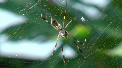 golden silk orb weaver (web spider) in her web Stock Video Footage