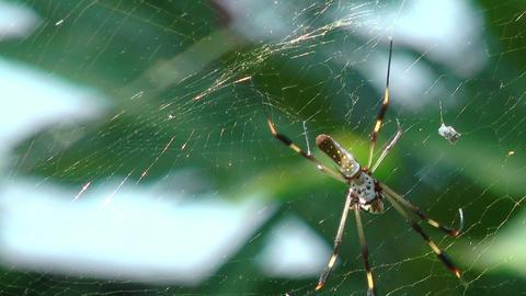 golden silk orb weaver (web spider) in her web Stock Video Footage