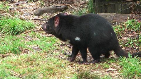 tasmanian devil showing his teeth Stock Video Footage