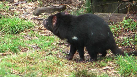 tasmanian devil showing his teeth Stock Video Footage