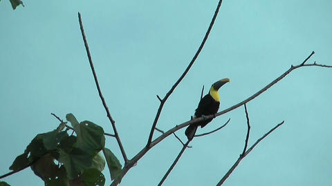 Toucan sitting on an branch Stock Video Footage