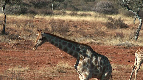 Elegant walk of Giraffe Stock Video Footage